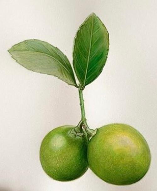 Original Pencil Drawing - Limes - Mounted Artwork