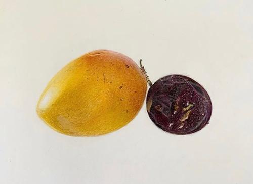 Original Pencil Drawing - Mango & Passionfruit - Mounted Artwork