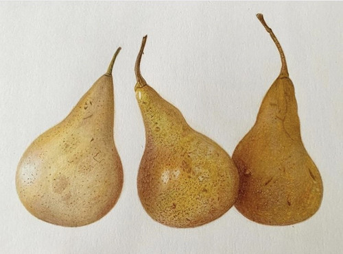 SOLD Original Pencil Drawing - Pear Trio - Mounted Artwork