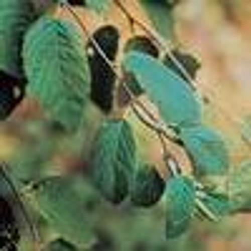 Sweet Birch Essential Oil 15 ML