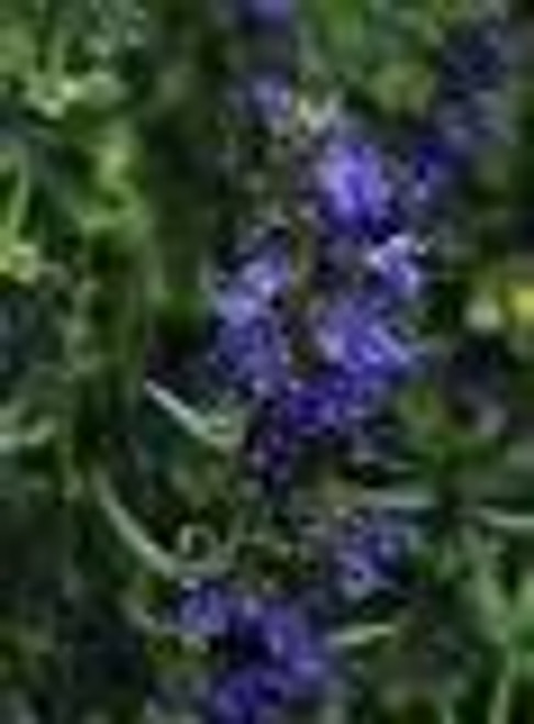 Hyssop Essential Oil 5 ML