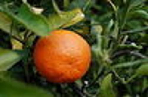 Tangerine Essential Oil 15 ML