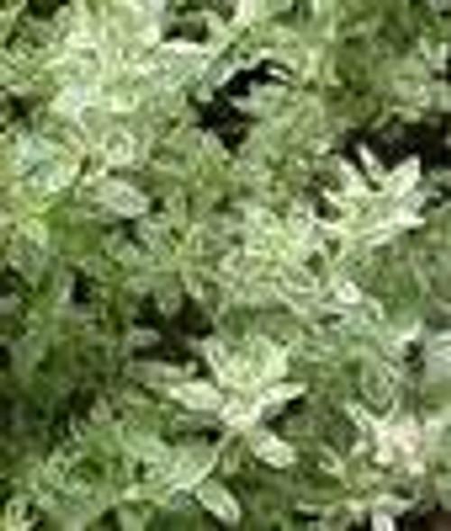 Thyme Essential Oil 15 ML