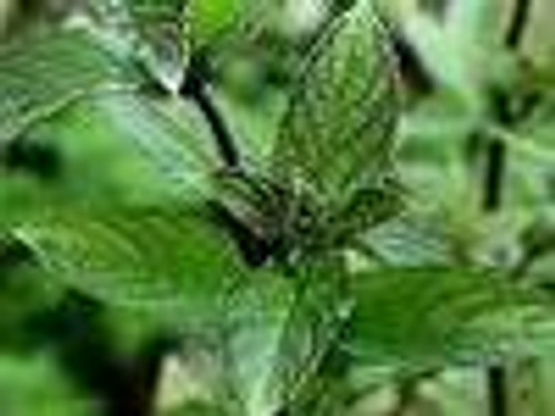 Spearmint Essential Oil 15 ML