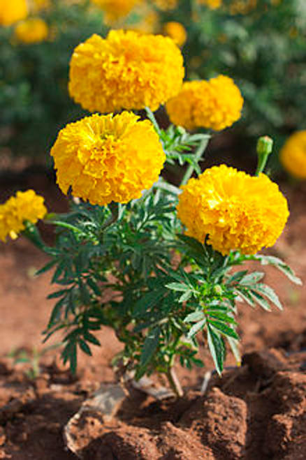 Tagetes Essential Oil 15 ml