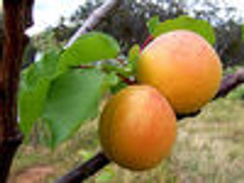 Apricot Carrier Oil 8 OZ