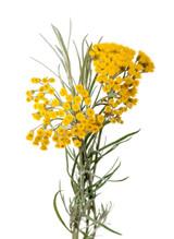 Helichrysum Italicum Essential Oil