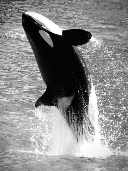 Black Orca