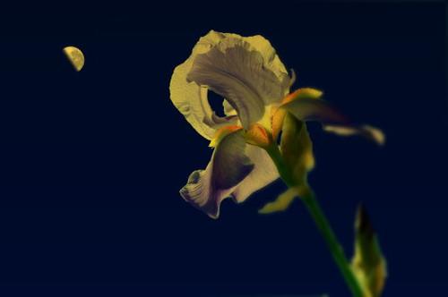 Iris Moon