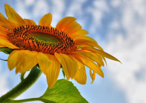 Sunflower Prayer