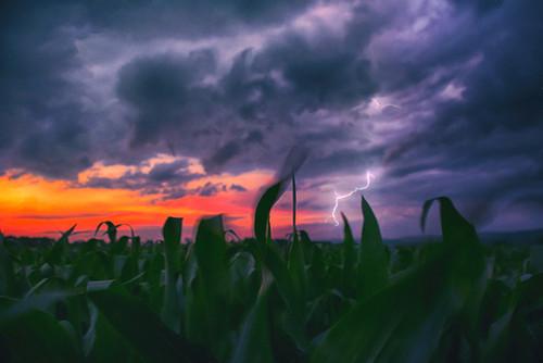 Corn Field In Flux