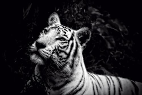 White Tiger Pose