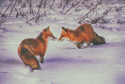 Purple Foxes