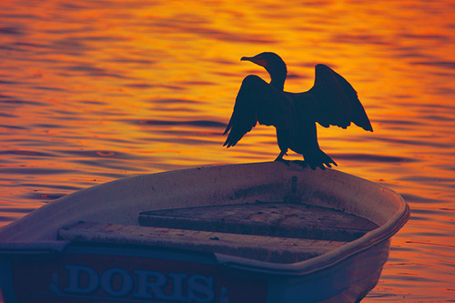 Sunset Cormorant