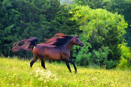 Arabian Gallop