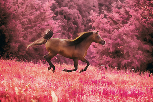 Pink Gallop