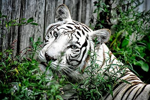 White Tiger Hello