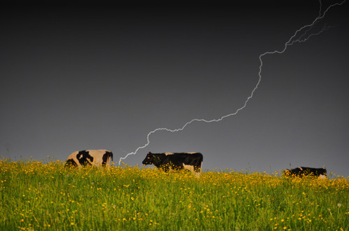 Bovine Strike