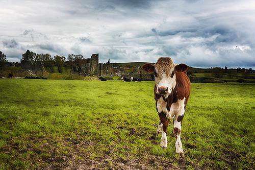 Irish Cattle