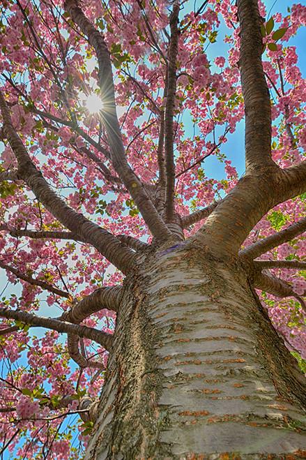 Pink Tree Spring