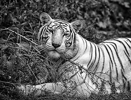 White Tiger Happy