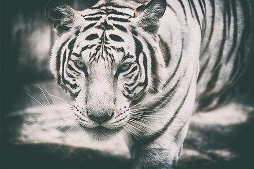 White Tiger Prowl