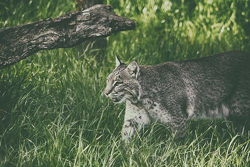 Bobcat Prowl