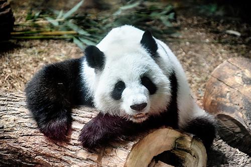 Panda Smile