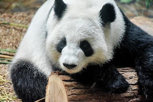 Panda In Rest
