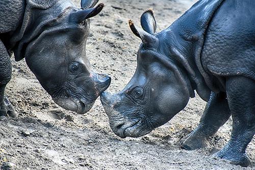Hippo Standoff