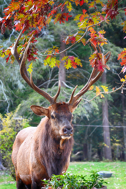 Elk Among The Leaves