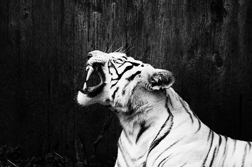 White Tiger Roar