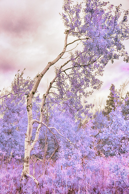 Birch Purple