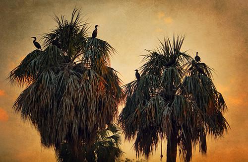 Cormorant Trees
