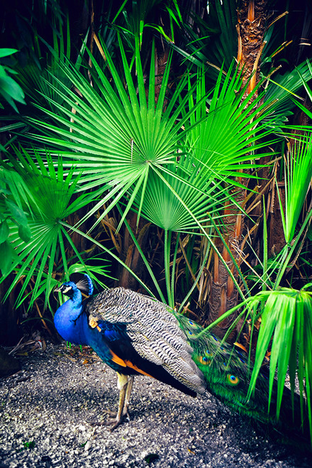 Peacock Palm