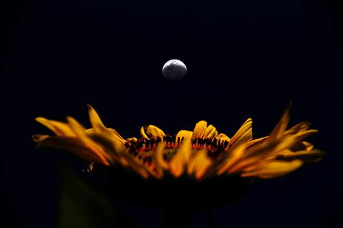 Sunflower Waning