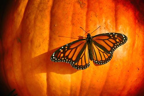 Pumpkin Monarch