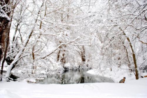 Foxy Snow