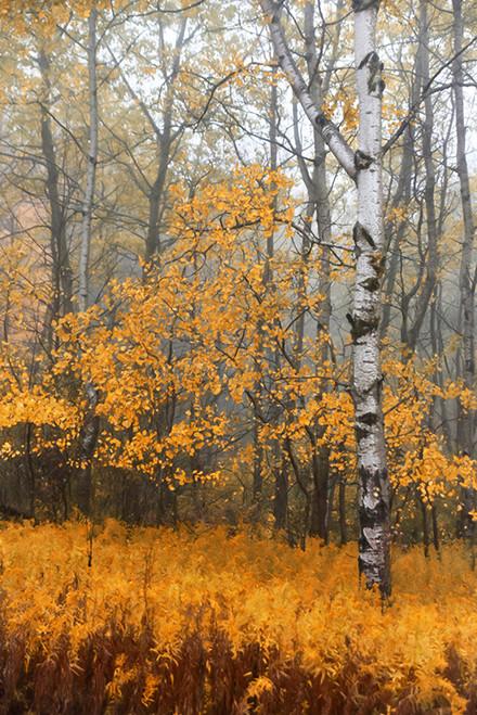 Birch And Yellow