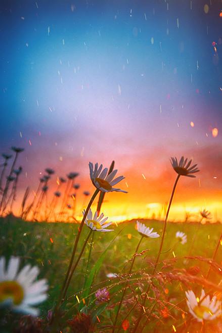 Raining Daisies
