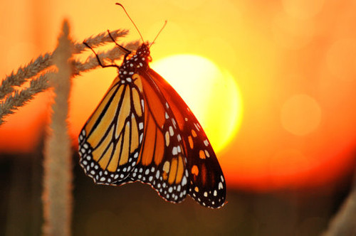 Monarch Sunset