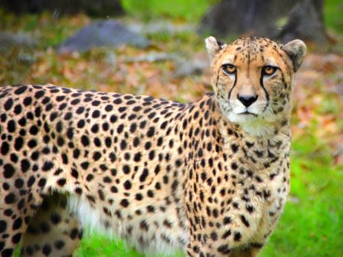 Cheetah Pose