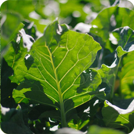 Diets containing traditional and novel green leafy vegetables improve liver fatty acid profiles of spontaneously hypertensive rats.