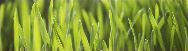 16-744px-wheat-grass-whole-leaf.jpg