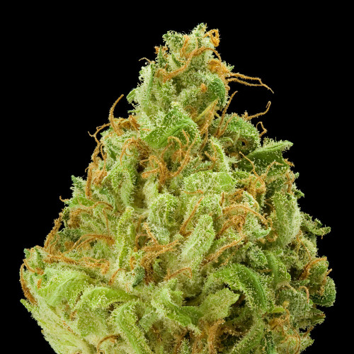 Banana Kush crosses Skunk Haze & Ghost OG. This sweet, tropical indica-dominant blend gives a soothed, uplifted, creative focus. The fresh banana taste helps w/happiness, better restfulness, creativity, talkativeness & attention Scent/Taste:Sweet, fruity, pungent, tropical Feels Like: Relaxed - Happy - Euphoric - Uplifted - Creative Suggested Uses: Stress - Anxiety - Pain - Depression - Insomnia Available in: Tinctures 750mg - 1000mg - 1500mg - 3000mg Cartridges 500mg Delta 8 900mg Cartridge Hoss E-Blunt CBD / Delta 8 1:1 Ratio 800mg