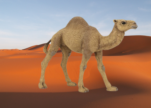 Two humps, it's a camel, one hump, it's a dromedary! Suited by nature for jaunts through the desert, able to resist extreme heat and able to survive for about a week without drinking water!