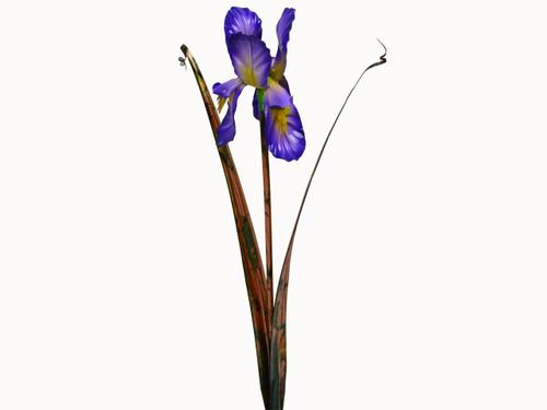 """Copper Bearded Iris Flower - Single Bloom - 24"""" Tall"""