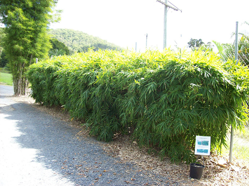 Buy 400mm Chinese Dwarf Bamboo In Newcastle Nsw The Bamboo Place