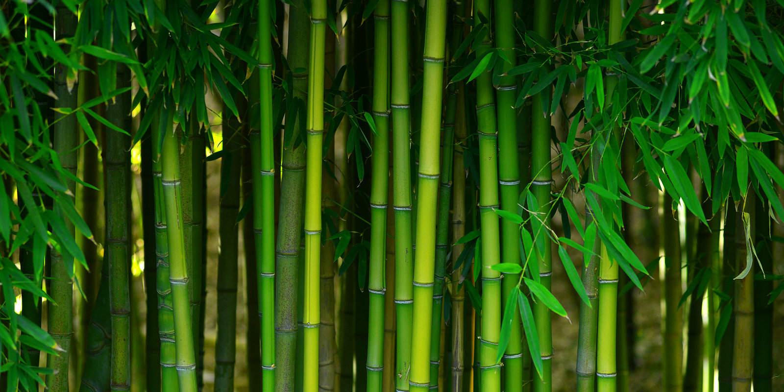 Browse Bamboo For Privacy Now | The Bamboo Place Newcastle NSW