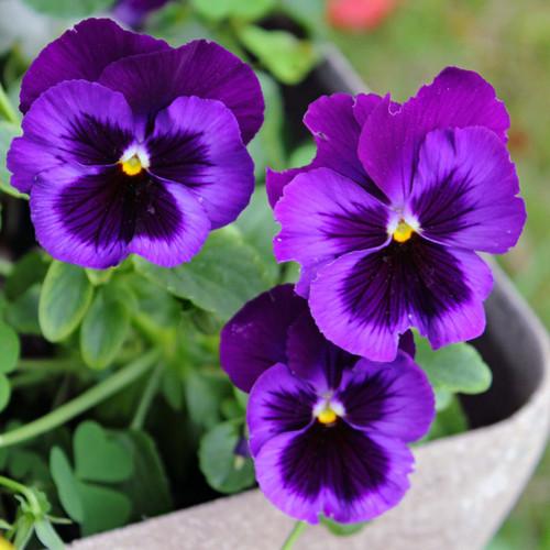 Monastery Incense - Violet